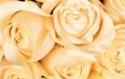 玫瑰写真 5 2 玫瑰写真 花卉壁纸