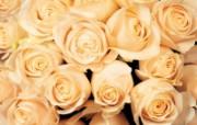玫瑰写真 5 1 玫瑰写真 花卉壁纸