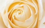 玫瑰写真 6 18 玫瑰写真 花卉壁纸