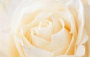 玫瑰写真 6 17 玫瑰写真 花卉壁纸