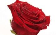 玫瑰写真 6 11 玫瑰写真 花卉壁纸