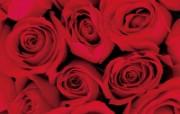 玫瑰写真 6 1 玫瑰写真 花卉壁纸