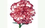 母亲节康乃馨 2 5 母亲节康乃馨 花卉壁纸
