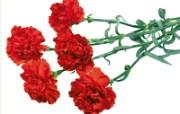 母亲节康乃馨 2 4 母亲节康乃馨 花卉壁纸