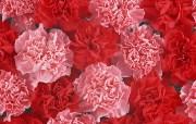 母亲节康乃馨壁纸 1600 1200 康乃馨花堆 康乃馨鲜花背景 1600 1200 母亲节康乃馨鲜花壁纸 花卉壁纸