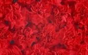 母亲节康乃馨壁纸 1600 1200 一堆红色康乃馨花图片 Red Carnation Flower 母亲节康乃馨鲜花壁纸 花卉壁纸