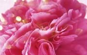 母亲节康乃馨壁纸 1600 1200 温馨康乃馨图片 康乃馨CG 壁纸 母亲节康乃馨鲜花壁纸 花卉壁纸