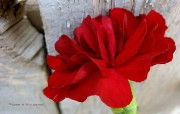 母亲节康乃馨壁纸 1600 1200 1600 1200 红色康乃馨图片 Red Carnation Flower 母亲节康乃馨鲜花壁纸 花卉壁纸