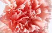 母亲节康乃馨壁纸 1600 1200 朦胧粉红色康乃馨图片 1600 1200 母亲节康乃馨鲜花壁纸 花卉壁纸