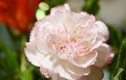 母亲节康乃馨壁纸 1600 1200 白色康乃馨鲜花图片 1600 1200 母亲节康乃馨鲜花壁纸 花卉壁纸
