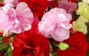 母亲节康乃馨壁纸 1600 1200 红色 粉红色康乃馨鲜花图片 1600 1200 母亲节康乃馨鲜花壁纸 花卉壁纸