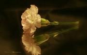 母亲节康乃馨壁纸 1600 1200 一支黄色康乃馨图片 1600 1200 母亲节康乃馨鲜花壁纸 花卉壁纸