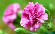 母亲节康乃馨壁纸 1600 1200 1600 1200 康乃馨鲜花图片 Pink Carnation flower 母亲节康乃馨鲜花壁纸 花卉壁纸