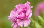 母亲节康乃馨壁纸 1600 1200 康乃馨鲜花图片 Pink Carnation flower 母亲节康乃馨鲜花壁纸 花卉壁纸