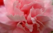 母亲节康乃馨壁纸 1600 1200 1600 1200 粉红色康乃馨微距图片 母亲节康乃馨鲜花壁纸 花卉壁纸