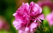 母亲节康乃馨壁纸 1600 1200 1600 1200 康乃馨图片 Pink Carnation flower 母亲节康乃馨鲜花壁纸 花卉壁纸