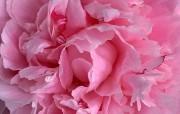 母亲节康乃馨壁纸 1600 1200 1600 1200 粉红色康乃馨图片 康乃馨壁纸 母亲节康乃馨鲜花壁纸 花卉壁纸