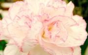 母亲节康乃馨壁纸 1600 1200 粉红色康乃馨鲜花图片 康乃馨壁纸 母亲节康乃馨鲜花壁纸 花卉壁纸