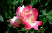 蔷薇写真 花卉壁纸