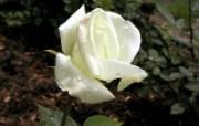 蔷薇写真 2 17 蔷薇写真 花卉壁纸