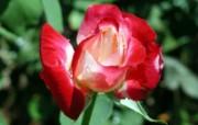 蔷薇写真 2 13 蔷薇写真 花卉壁纸