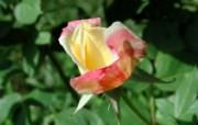 蔷薇写真 2 11 蔷薇写真 花卉壁纸