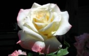 蔷薇写真 2 8 蔷薇写真 花卉壁纸