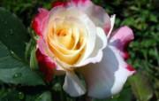蔷薇写真 2 7 蔷薇写真 花卉壁纸
