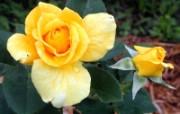 蔷薇写真 2 2 蔷薇写真 花卉壁纸