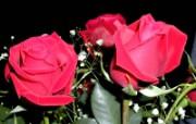 蔷薇写真 2 1 蔷薇写真 花卉壁纸