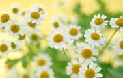 清新淡雅的花卉艺术 壁纸2 清新淡雅的花卉艺术 花卉壁纸