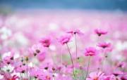 野花烂漫 清新风格花卉摄影壁纸 清新唯美 大波斯菊壁纸 1920 1600 清新风格野花烂漫 花卉壁纸