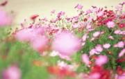 野花烂漫 清新风格花卉摄影壁纸 清新唯美 秋樱壁纸 1920 1600 清新风格野花烂漫 花卉壁纸