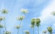 野花烂漫 清新风格花卉摄影壁纸 蓝天下 田野野花壁纸 1920x1200 清新风格野花烂漫 花卉壁纸