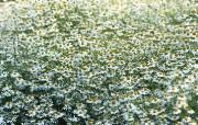 秋菊花香 29张 菊花图片菊花壁纸 Desktop Wallpaper of Chrysanthemum Flowers 秋菊花香菊花壁纸 花卉壁纸