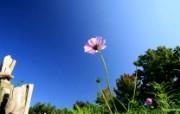 秋天花开 秋樱大波斯菊壁纸 秋天的大波斯菊壁纸 花卉壁纸