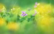 柔和梦幻的鲜花图片 柔光摄影 梦幻唯美野花摄影 花卉壁纸