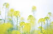 朦胧唯美 油菜花图片 柔光摄影 梦幻唯美野花摄影 花卉壁纸