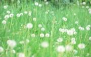 1920 1200 遍地的蒲公英壁纸 柔光摄影 梦幻唯美野花摄影 花卉壁纸