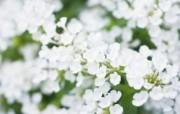 柔光镜头 浪漫朦胧花卉摄影 柔焦摄影朦胧浪漫花卉摄影 花卉壁纸