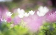 柔焦摄影 柔和朦胧的鲜花图片 柔焦摄影朦胧浪漫花卉摄影 花卉壁纸