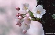 三月樱花节樱花壁纸 花卉壁纸