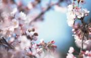 日本樱花图片 Japanese Sakura Cherry Blossom Photos 三月樱花节樱花壁纸 花卉壁纸