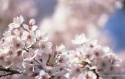 浪漫樱花壁纸 Japanese Cherry Blossom wallpapers 三月樱花节樱花壁纸 花卉壁纸