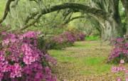 生命的绽放 植物花卉壁纸精选 第一辑 Azaleas and Live Oaks Magnolia Plantation South Carolina 橡树和杜鹃花图片壁纸 生命的绽放植物花卉壁纸精选 第一辑 花卉壁纸