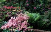 生命的绽放 植物花卉壁纸精选 第一辑 Azaleas and Rhododendrons 杜鹃花图片壁纸 生命的绽放植物花卉壁纸精选 第一辑 花卉壁纸