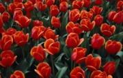 生命的绽放 植物花卉壁纸精选 第一辑 Bed of Red Tulips 红色郁金香图片壁纸 生命的绽放植物花卉壁纸精选 第一辑 花卉壁纸