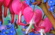 生命的绽放 植物花卉壁纸精选 第一辑 Bleeding Heart and Forget Me Not 荷包牡丹和勿忘草图片壁纸 生命的绽放植物花卉壁纸精选 第一辑 花卉壁纸