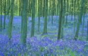 生命的绽放 植物花卉壁纸精选 第一辑 Bluebells in the Forest 野风信子图片壁纸 生命的绽放植物花卉壁纸精选 第一辑 花卉壁纸