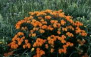 生命的绽放 植物花卉壁纸精选 第一辑 Butterfly Weed in Bloom Schulenberg Prairie Morton Arboretum Illinois 盛开的蝴蝶草图片壁纸 生命的绽放植物花卉壁纸精选 第一辑 花卉壁纸